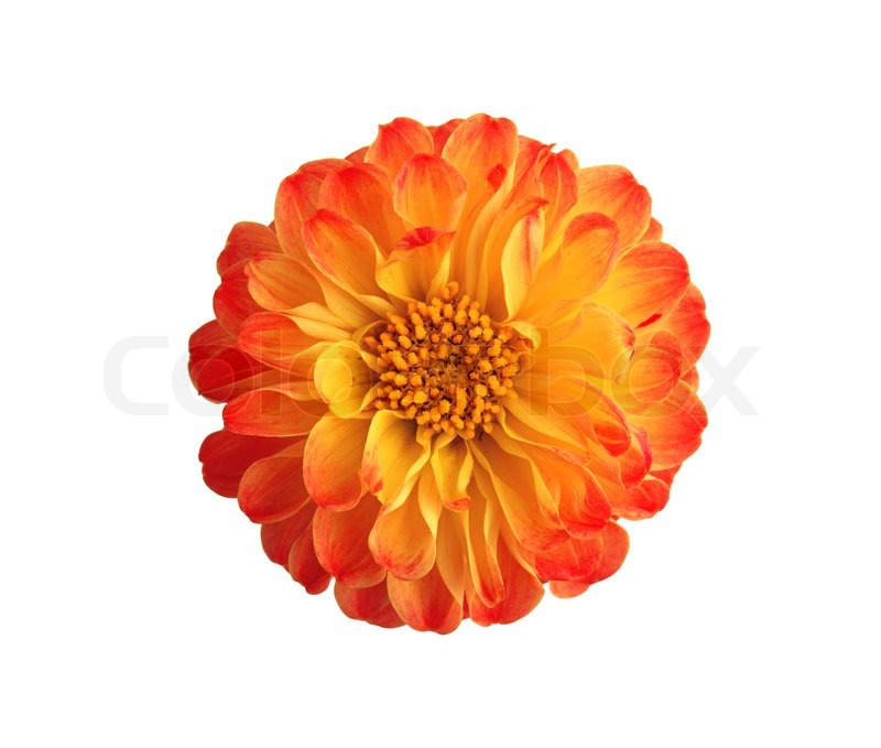 Marigold Flowers Isolated On White Background Stock