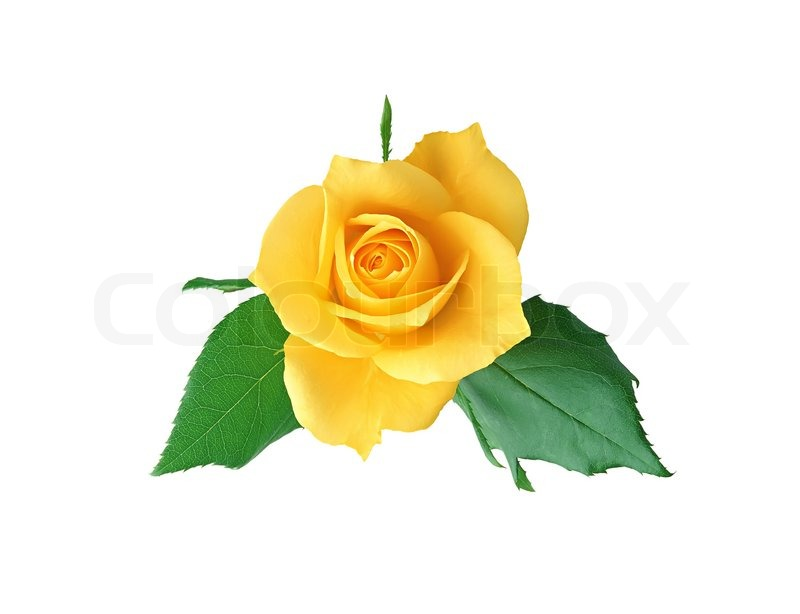 Beautiful yellow rose isolated on white background | Stock ...