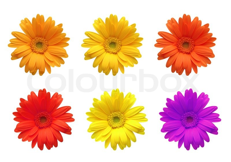 Gerbera flowers of bright colors isolated on white background gerbera flowers of bright colors isolated on white background stock photo colourbox mightylinksfo