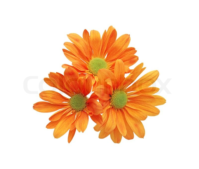Beautiful Orange Chrysanthemum Flower ...