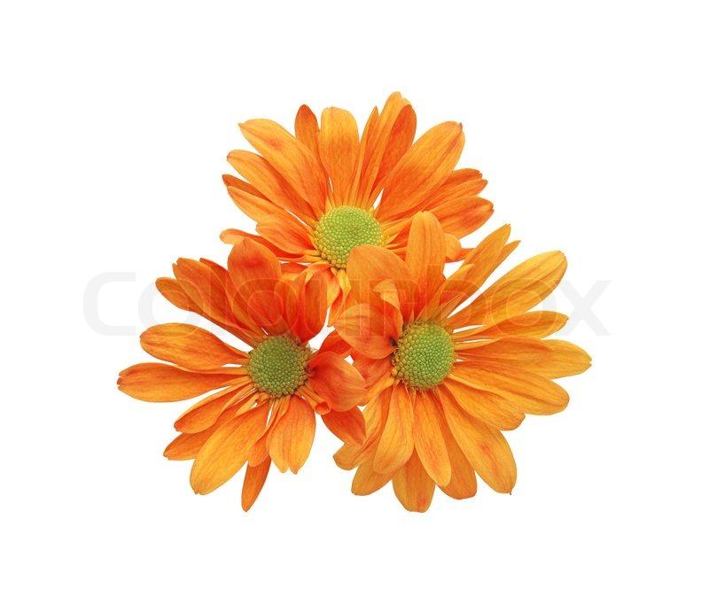 Schöne orange Chrysantheme Blume auf weißem Hintergrund