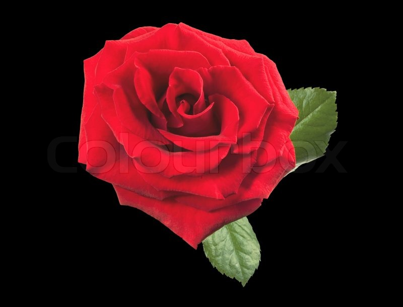 Beautiful Single Red Rose Flower Isolated Royalty Free: Beautiful Red Rose Isolated On Black Background