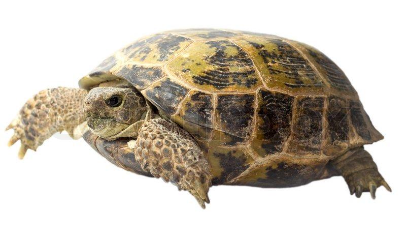 tortoise isolated on white background stock photo