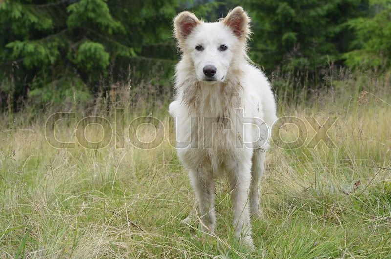 White dog that guards the flock of sheep in the mountains, stock photo