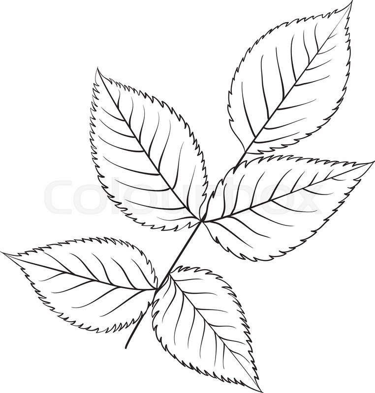 Silhouette Of Rose Leaves Botany Set Stock Vector Colourbox