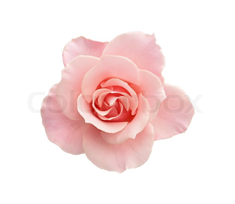 beautiful pink rose isolated on white background stock