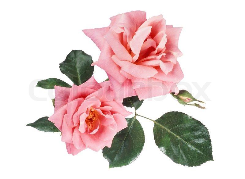 stock bild von 39 sch ne rosa rosen auf wei em hintergrund 39. Black Bedroom Furniture Sets. Home Design Ideas