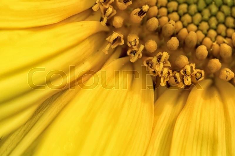 Detail of flower yellow sunflowers, stock photo