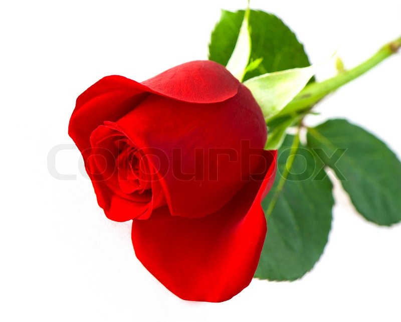 Beautiful Single Red Rose Flower Isolated Royalty Free: Single Red Rose Flower Isolated On White Background