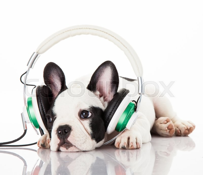 Dog listening to music with headphones isolated on white ...