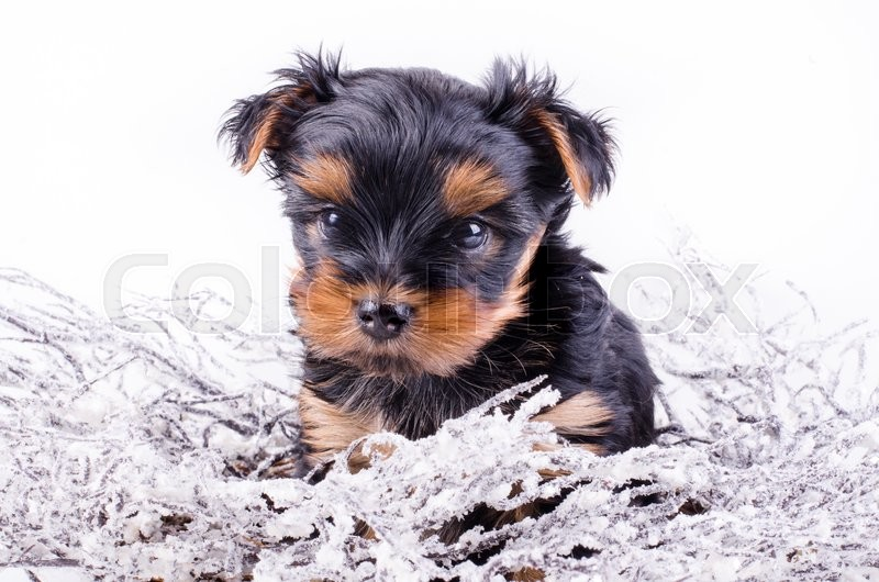 Yorkshire Terrier Puppy Sitting With Christmas Snowy Wreath And