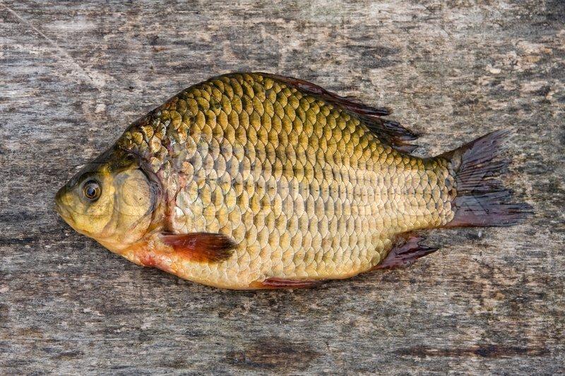 Freshwater carp - photo#19