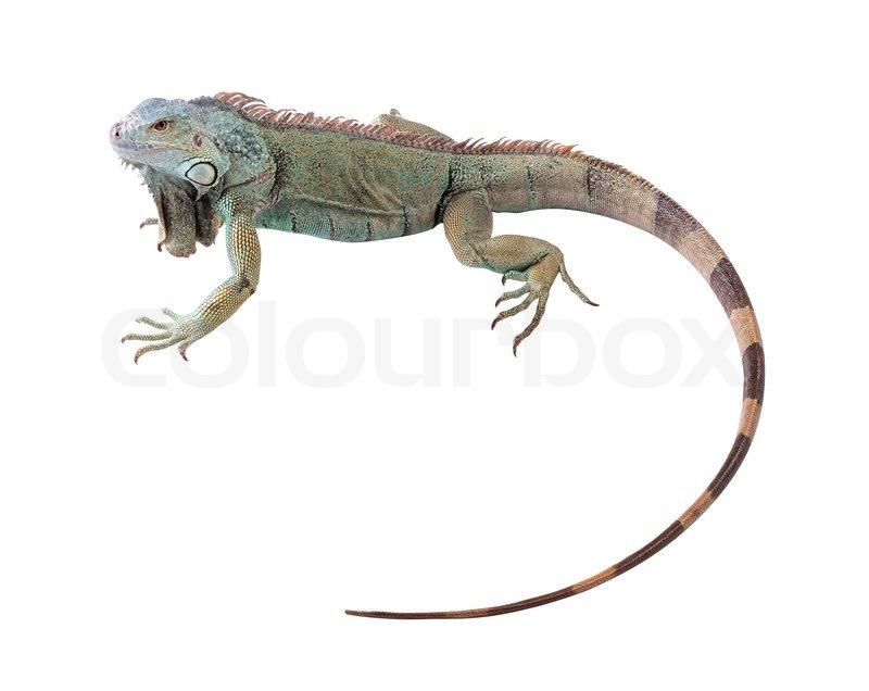 Green iguana(Iguana iguana) isolated on white background | Stock ...