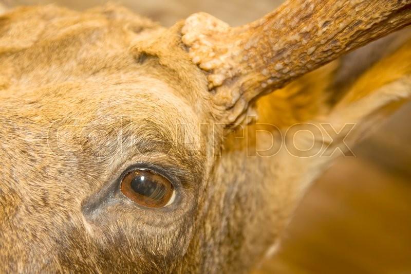 Eye of the elk. Stuffed animal, stock photo