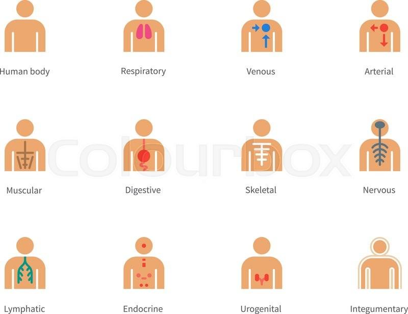 Anatomie, info, venös | Vektorgrafik | Colourbox