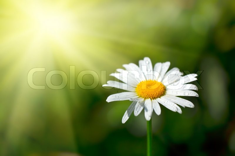 Stock image of 'White chamomile with water drops macro in field'