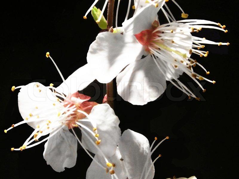 Kirschblüte, Frühling , Blumen, Natur , Baum , Zweig, Pflanzen ...