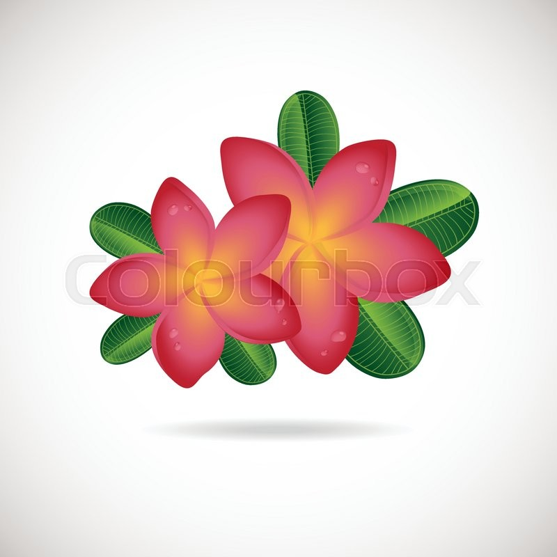 Pink plumeria flower vector illustration of two frangipani flowers pink plumeria flower vector illustration of two frangipani flowers with green leaves on white backgrouns spa or beauty center logo mightylinksfo
