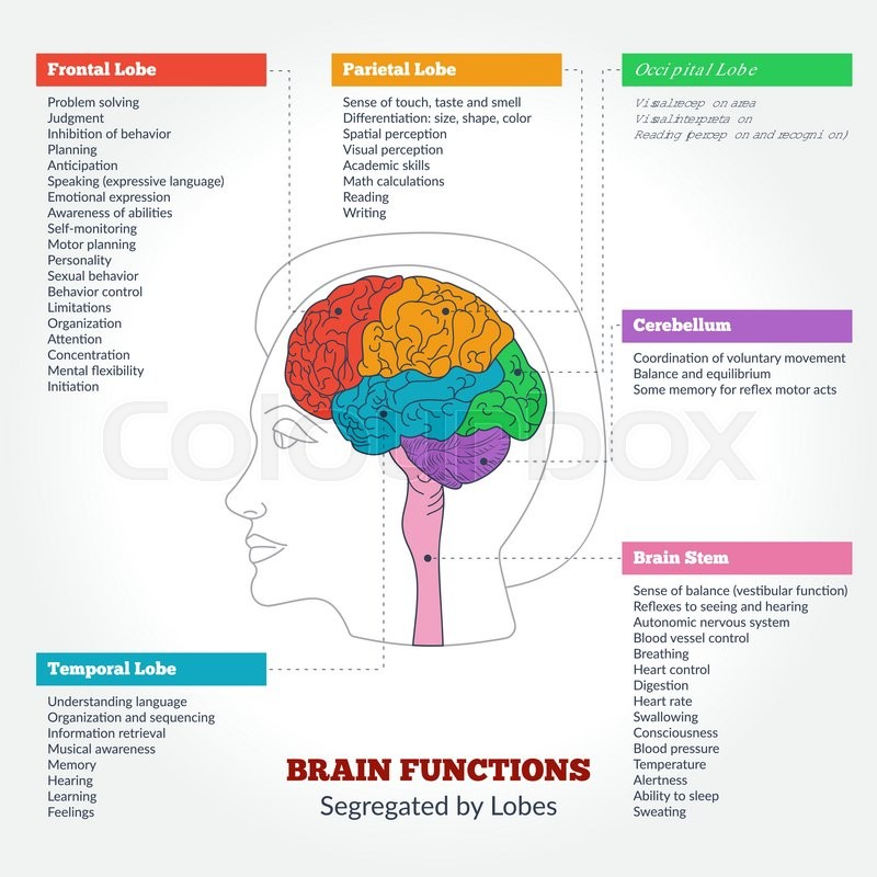 guide to the human brain anatomy and human brain functions, Human Body