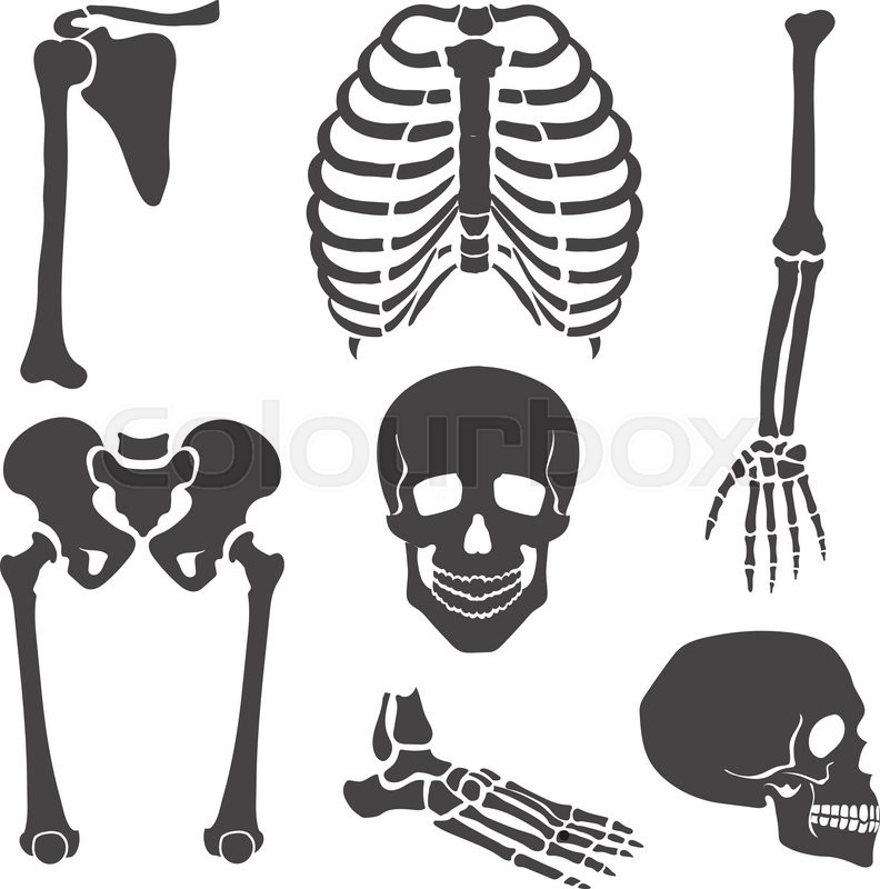 human skeleton orthopedic and spine scull hand and backbone rh colourbox com skeleton vector free skeleton vector png
