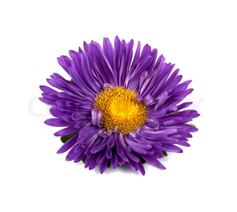 Aster On A White Background Stock Photo Colourbox