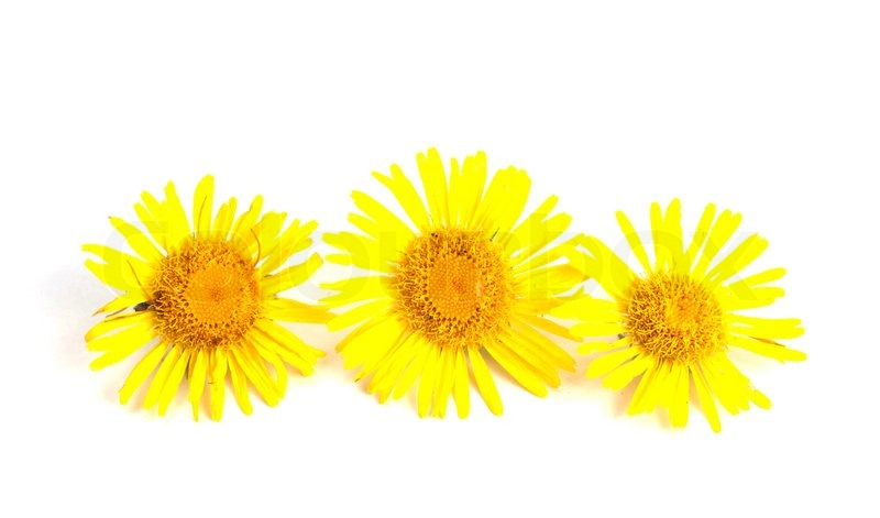 Yellow flowers on a white background   Stock Photo   Colourbox