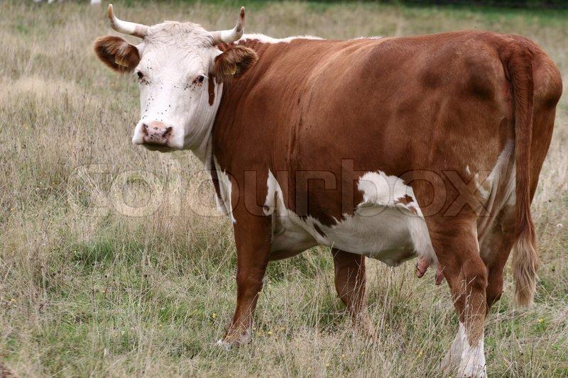 Cow On A Field In Denmark In The Summer