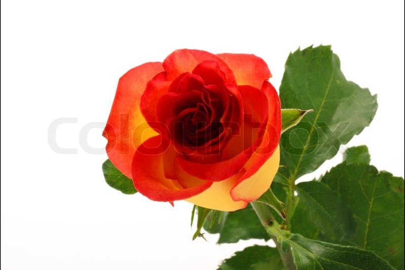 Stock image of 'Yellow rose'