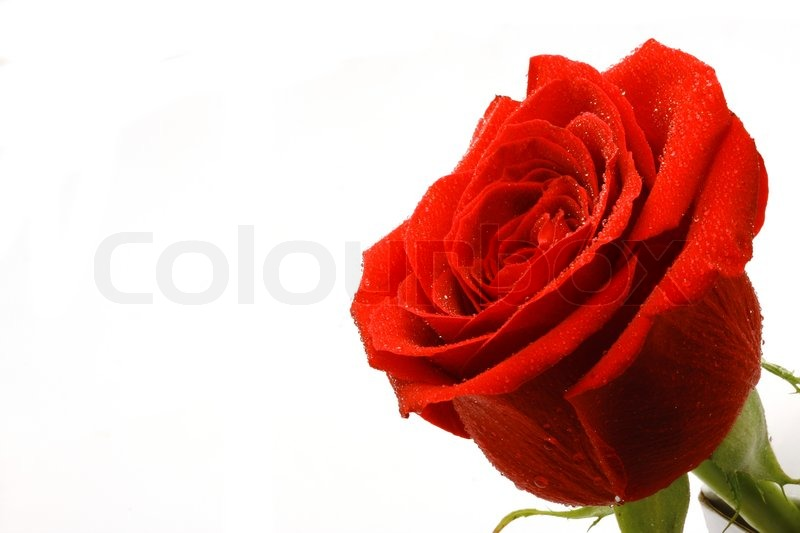 Stock image of 'Red rose'