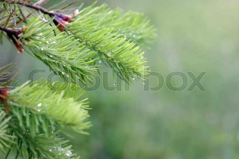 A young fir tree branch with lot of raindrops, stock photo