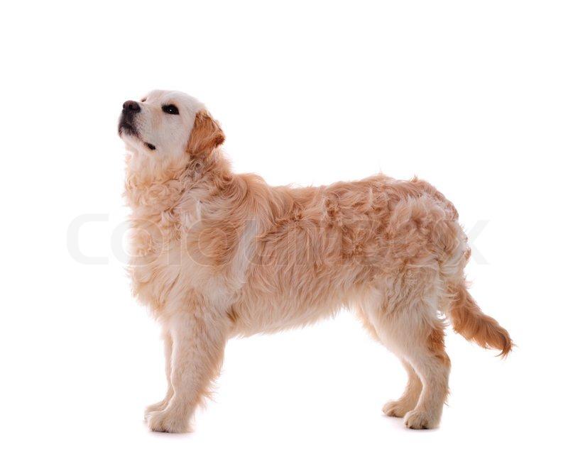 Best Canadian Dog Breeds
