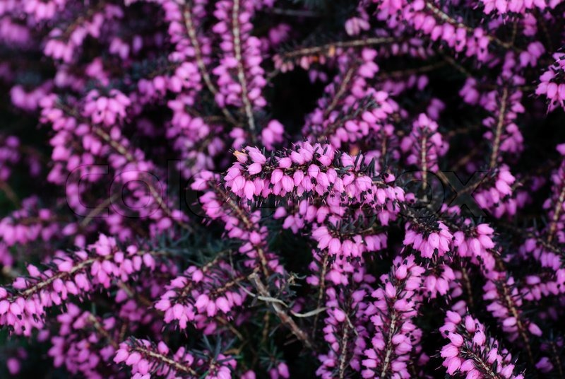 Different Heather Flowers Close Up Stock Photo Colourbox