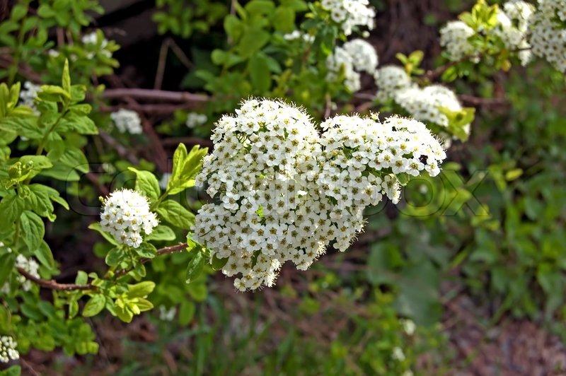 Blühende Sträucher weißen Blüten vor dem Hintergrund einer grünen ...