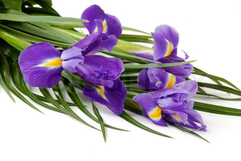 Spring purple flowers irises over white background stock photo spring purple flowers irises over white background stock photo colourbox mightylinksfo