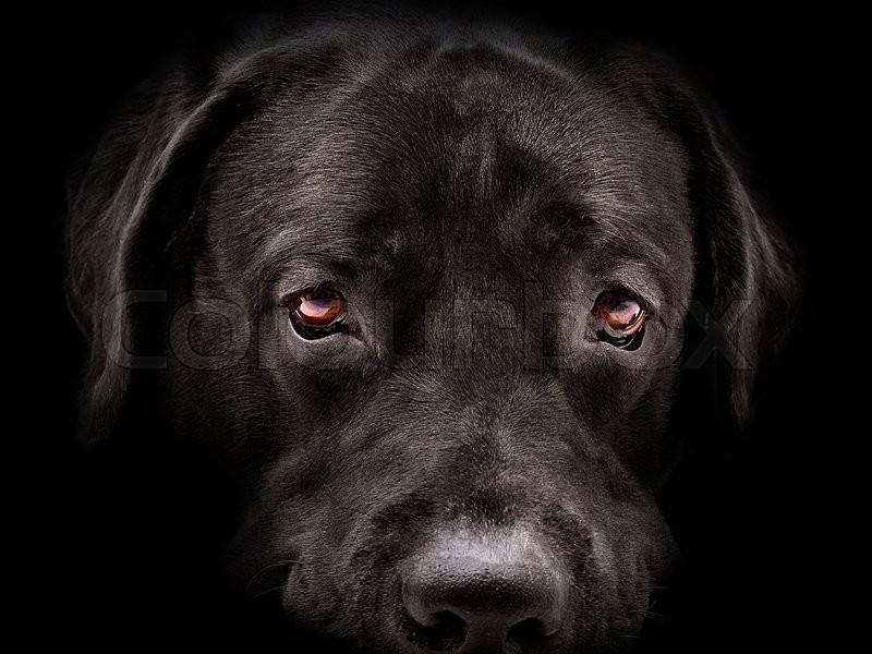 Dark muzzle labrador dog closeup. front view, stock photo