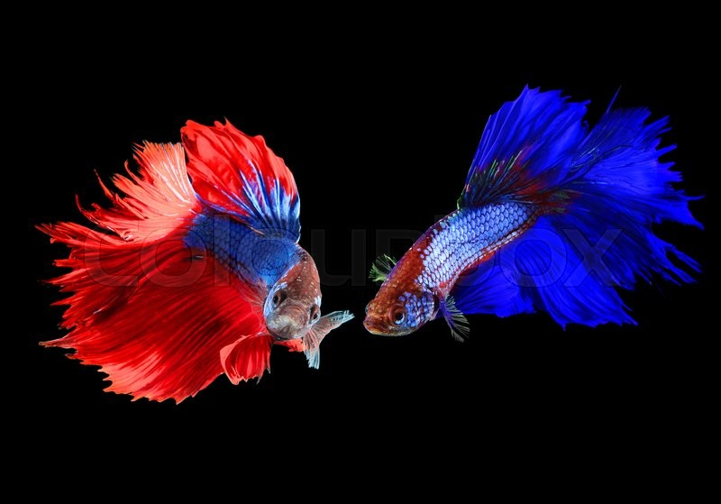Siamese fighting betta fish red and blue on black for Red betta fish