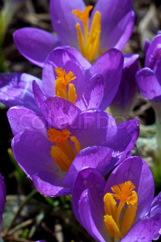 closeup picture of a crokus. very beautiful flowers of crocuses, Beautiful flower