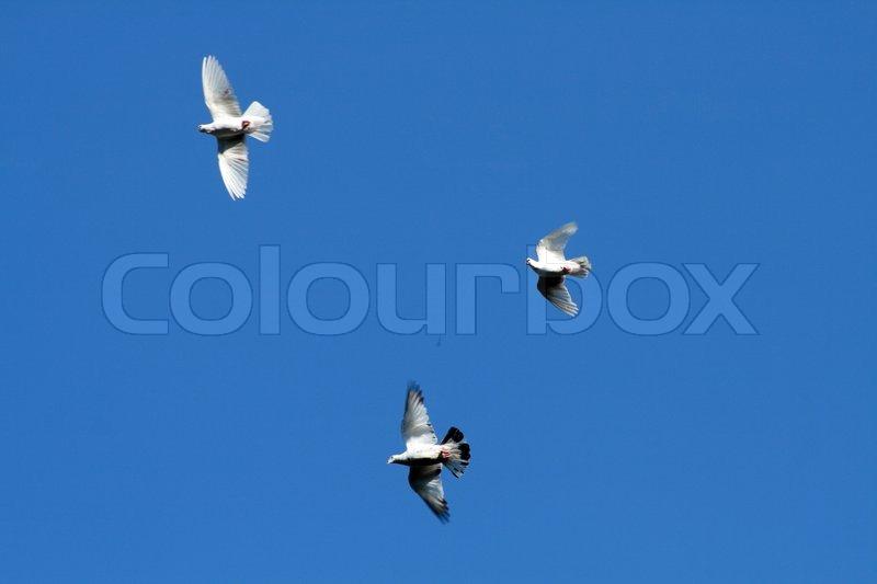 drei weiße tauben songtext