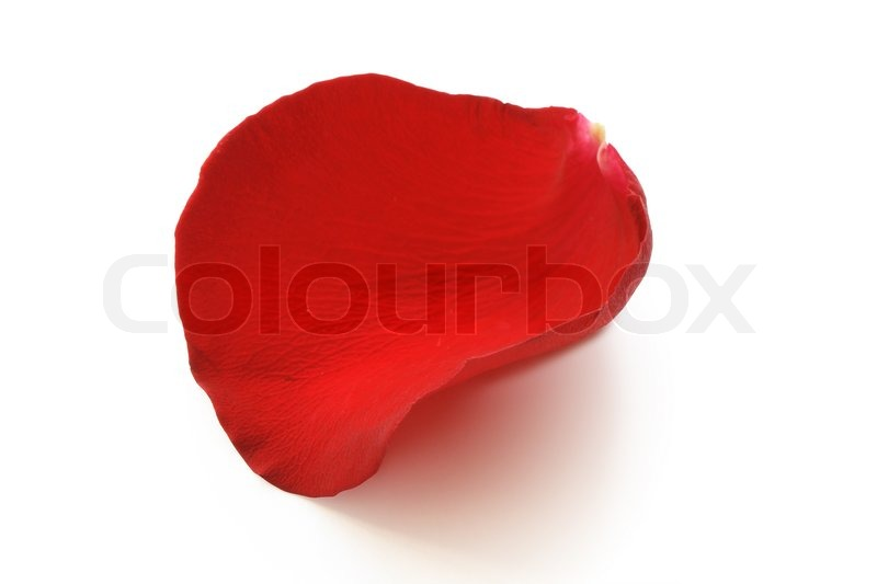 Red rose petal isolated on white background with clipping for Individual rose petals