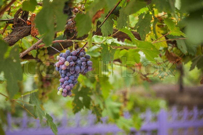 Purple red grapes with green leaves on the vine. fresh fruits Stock Photo, stock photo