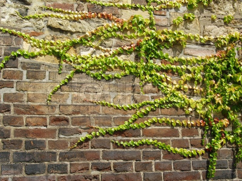 ivy growing on the wall stock image colourbox. Black Bedroom Furniture Sets. Home Design Ideas