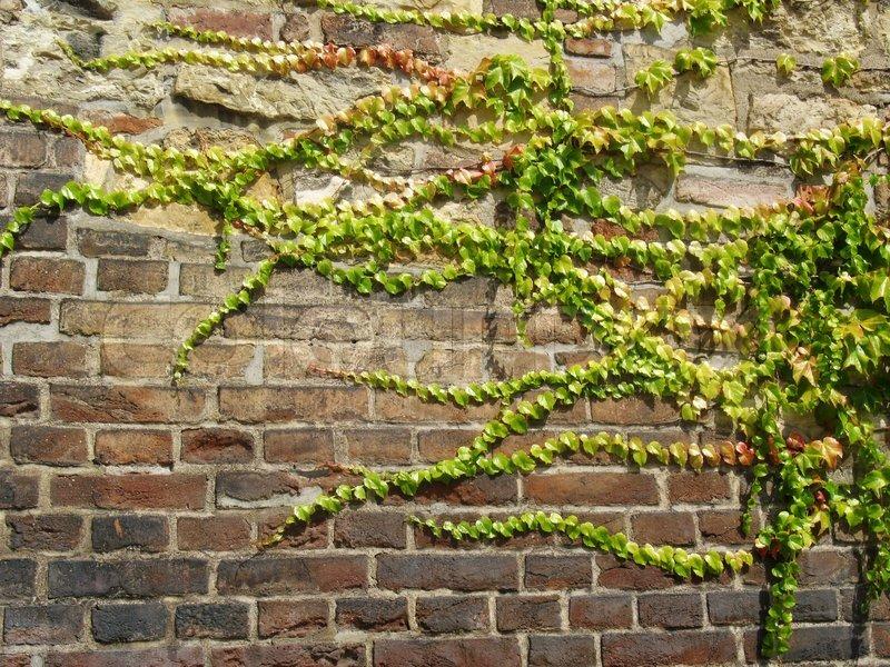 Efeu An Der Wand