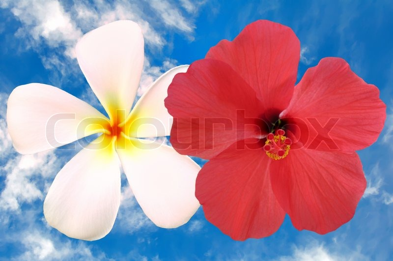 Tropical Plumeria And Hibiscus Flower Stock Image Colourbox