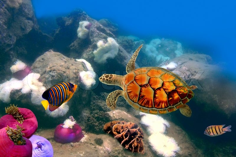 sea turtle swimming over the coral reef stock photo