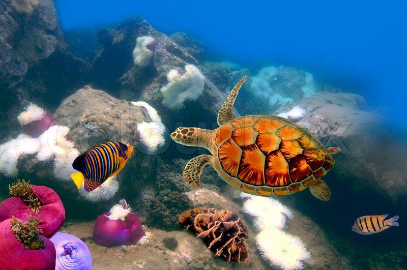 Meeresschildkröten schwimmen über dem Korallenriff | Stockfoto ...