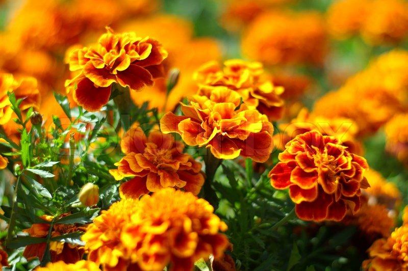 Red Orange Blumen Im Garten Makro Stock Bild Colourbox