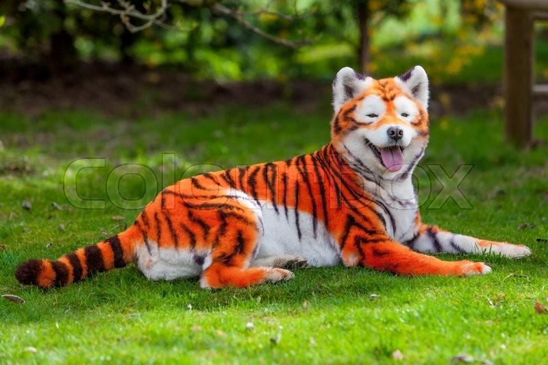 Samoyed dog repainted on tiger. groomed dog. pet grooming. Samoyed dog, stock photo