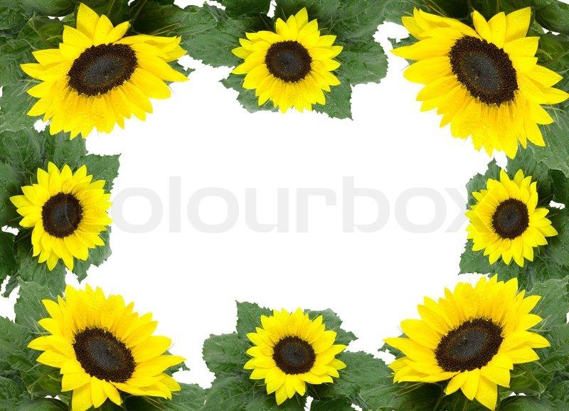 rahmen aus gr nen bl ttchen und sonnenblumen auf wei em. Black Bedroom Furniture Sets. Home Design Ideas