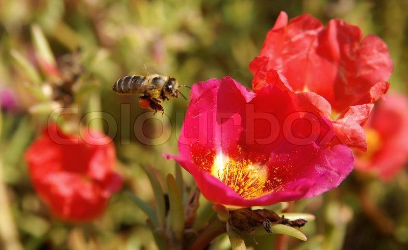 biene blume nektar close up hell pollen fliegen. Black Bedroom Furniture Sets. Home Design Ideas