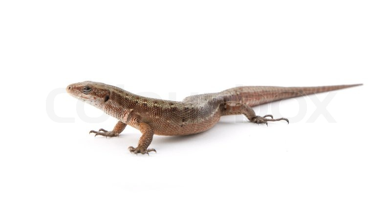 image of one small lizard on